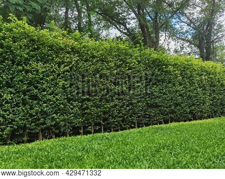 Long Green Hedge Or Green Leaves Wall With Textured Green Grass Lawn In Foreground. Green Grass Wall