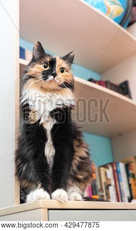 Beautiful Cute Pet Three-color Fluffy Cat Is Sitting On Bookcase Shelf In Room. Vertical Orientation