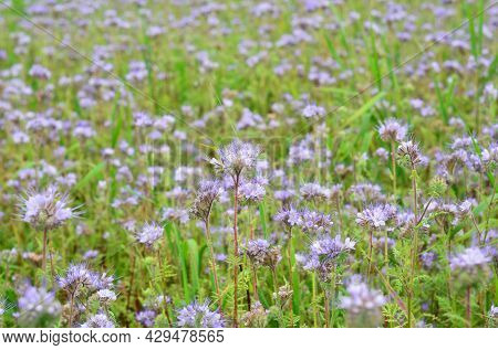 Growing Lacy Phacelia, Purple Tansy Or Phacelia Tanacetifolia, Used As A A Cover Crop, Green Manure