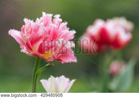 Fringed Tulip In A Botanical Garden In Summer.