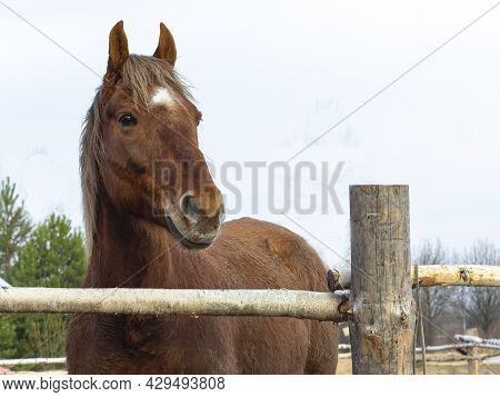 Portrait Of A Brown Horse Standing In A Paddock. Close-up