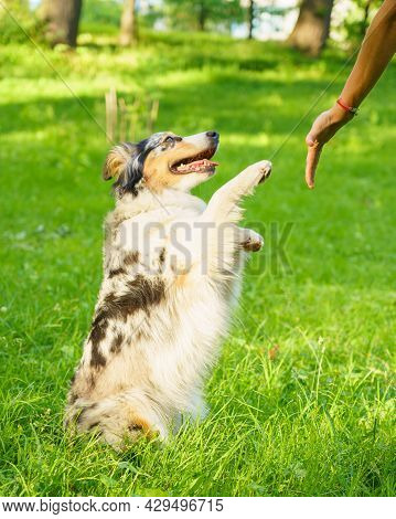 Beautiful Spotted Australian Shepherd Dog Gives Paw To Owners Hand While Stands In Green Grass In Su