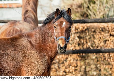 A Portrait Of A Single Brown Horse Inside Of A Field Next To A Ranch. The Animal Is Looking Straight
