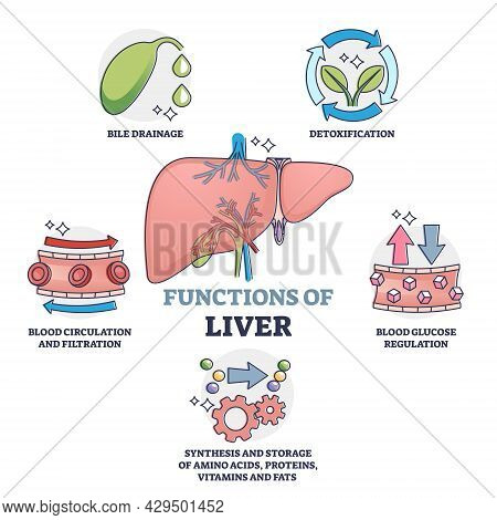 Functions Of Liver As Body Organ Description Outline Collection. Educational Labeled Anatomical Expl