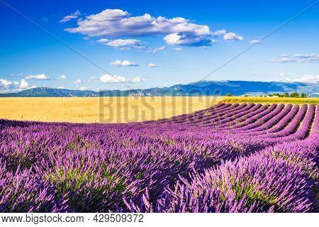 Provence, France. Lavender Field Summer Sunset Landscape, Famous Valensole Plateau.