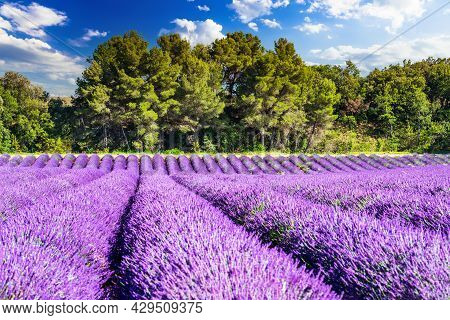Provence, France. Lavender Field Summer Travel Landscape On Plateau De Valensole.