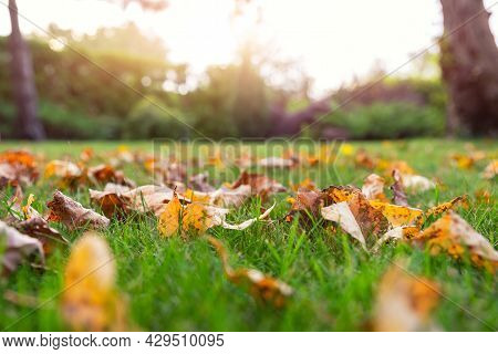 Low Angle Pov Scenery Multicoloroed Bright Vibrant Oak And Maple First Fallen Dry Leaves On Green Gr