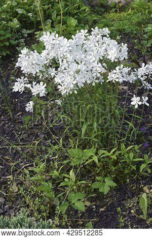 Wild Blue Phlox (phlox Divaricata). Called Woodland Phlox And Wild Sweet William Also.
