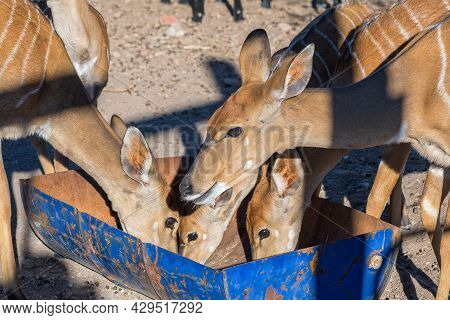 Close-up Of A Herd Of Nyala Ewes Eating From A Trough Near Beaufort West In The Western Cape Karoo