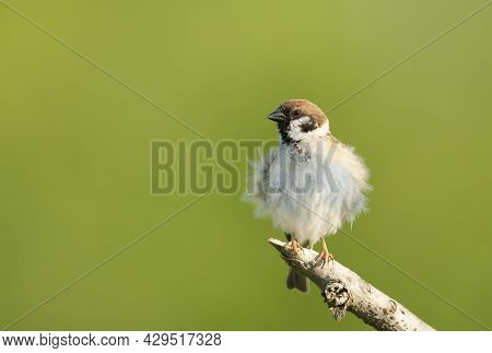 Close Up Of A Tree Sparrow (passer Montanus) Perching On A Tree Branch Against Green Background, Uk.