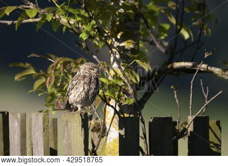 Close Up Of A Little Owl (athene Noctua) Perched On A Fence In Summer, United Kingdom.