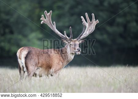 Portrait Of A Red Deer Stag With Large Velvet Antlers In Summer, United Kingdom.