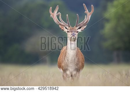 Portrait Of A Red Deer Stag With Velvet Antlers In Summer, United Kingdom.