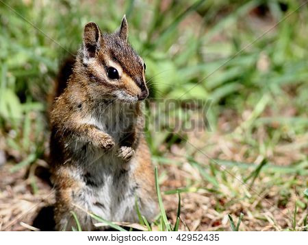 Townsend's Chipmunk Closeup