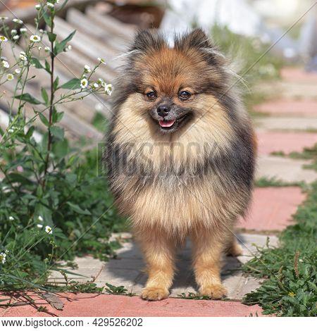 Walking German Spitz, Red-brown Spitz Puppy, Fluffy Cute, Pet