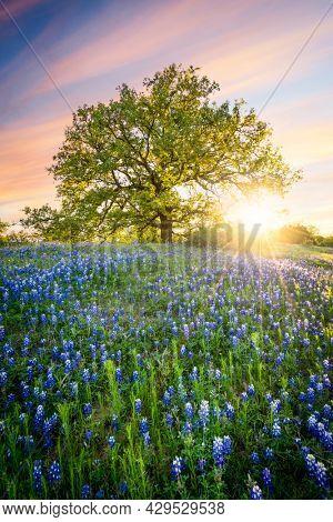 Lone tree in bluebonnet flowers
