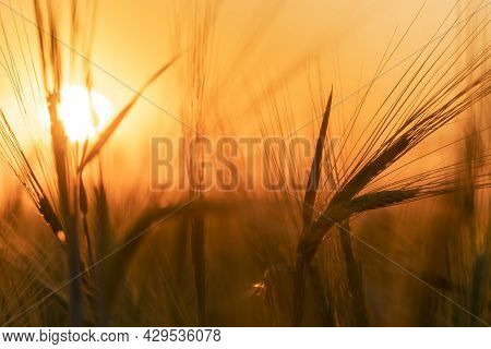 Harvesting Grain Crops In A Field Or Meadow.barley Ears Sway In The Wind Against The Background Of A