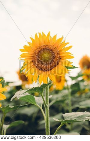 Sunflower Blooming, Flower Natural Background. Harvest Time Agriculture Farming Oil Production.
