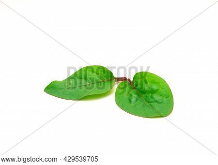 Two Red Malabar Spinach Basella Alba Leaves Isolated On White