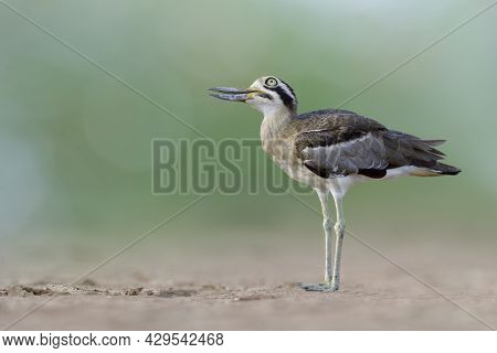 Great Thick-knee Or Stone Curlew (esacus Recurvirostris) Funny Brown Camouflage Bird With Big Eyes A