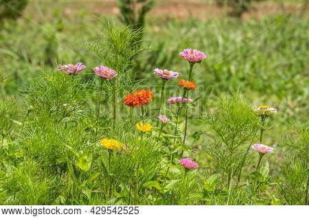 Zinnias Emerging Through The Cosmos Plants In The Field A Mixed Variety Of Different Colors And Size