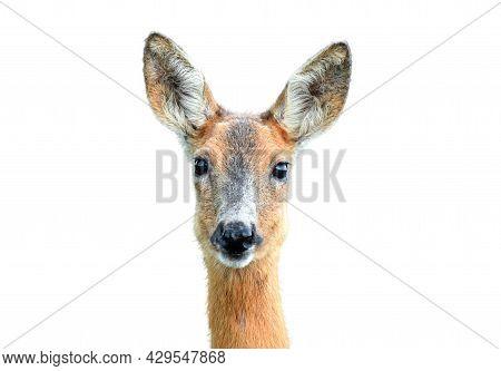 Portrait Of Wild Female Roe Deer On White Background