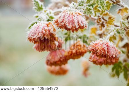 Frost-covered Orange Flowers In The Garden On A Blurred Background. The First Frosts, The Beginning