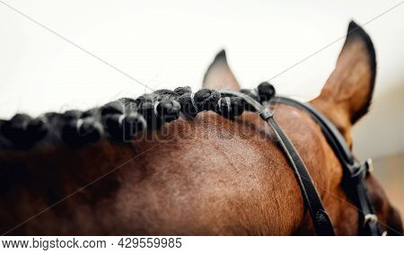 Horse Ears And Braided Mane Of A Dressage Horse. Pigtails On Neck Sports Brown Horse. Equestrian Spo