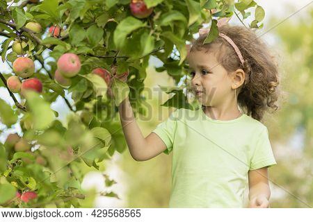 Little Cute Girl Playing In Apple Tree Orchard. Child Picking Apples On Farm In Autumn. Kid Pick Fru