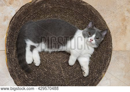 A Cute British Short Hair Cat Laying On A Corrugate Cat Scratcher And Looking At The Camera