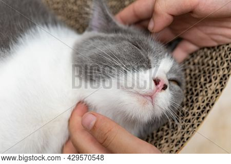 Kid Gently Stroking A Lovely British Shorthair Cats Head