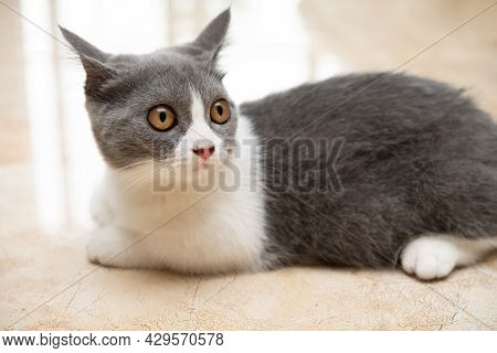 A Young British Shorthair Cat Laying Down On The Floor