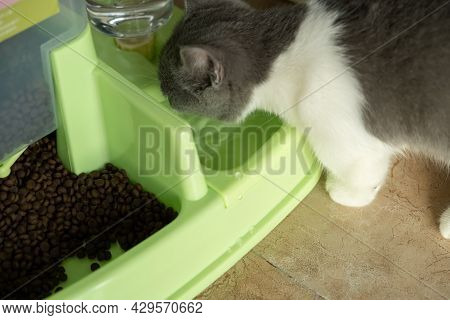 British Shorthair Cat Drinking Water On An Auto-feeding Container