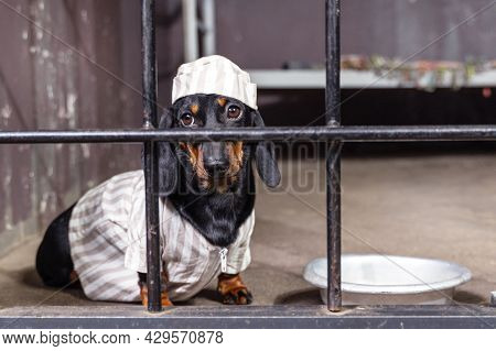 Sad Dachshund Puppy In Striped Prison Uniform With Cap Is Sitting In Cell Block, Aluminum Bowl Is Ne