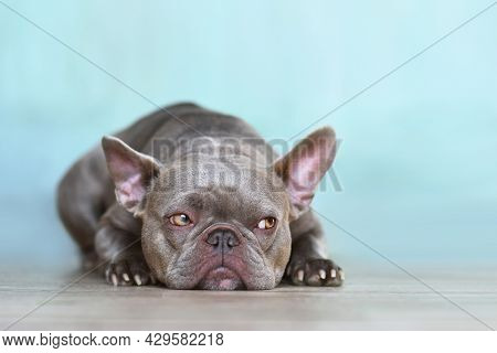 Sulking Lilac Brindle French Bulldog Dog With Yellow Eyes Looking To Side In Front Of Blue Wall