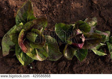 Green Fresh Leafy Lettuce In The Garden,