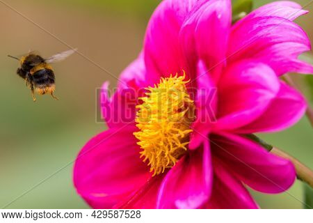 Bee Pollination. Bumblebee With Pollen On Its Legs And Body Flying Away From A Pretty Pink Peoni Flo