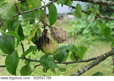 A Rotten Pear On A Tree Branch. Infected Trees