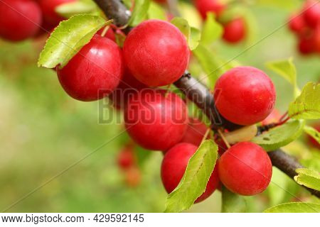 Prunus Cerasifera Red Grows On A Tree. Plum Fruits In Summer.
