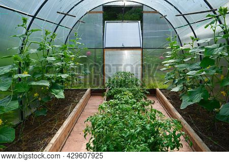 View Inside The Greenhouse, Cucumber Seedlings In The Greenhouse, The Concept Of Gardening
