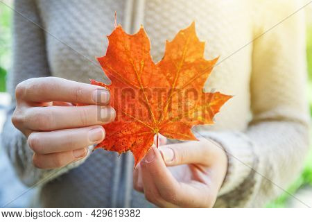 Closeup Natural Autumn Fall View Woman Hands Holding Red Orange Maple Leaf On Park Background. Inspi
