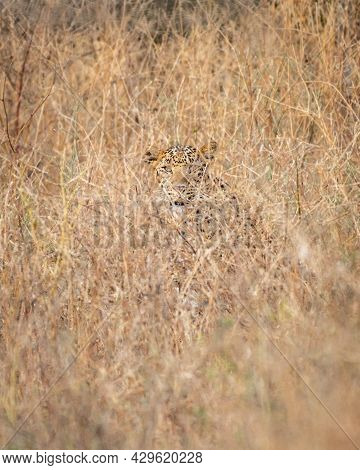 Indian Leopard Or Panther Camouflage In Grass At Ranthambore National Park India - Panthera Pardus F