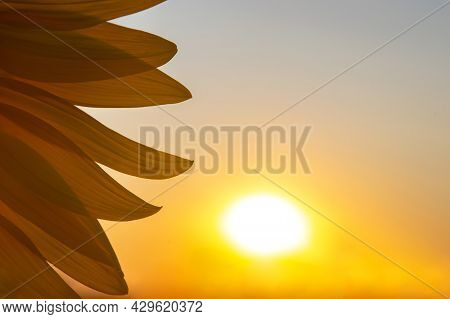 Flower Petals Of A Sunflower Close-up In The Sunbeams Against The Background Of The Sky. Agriculture