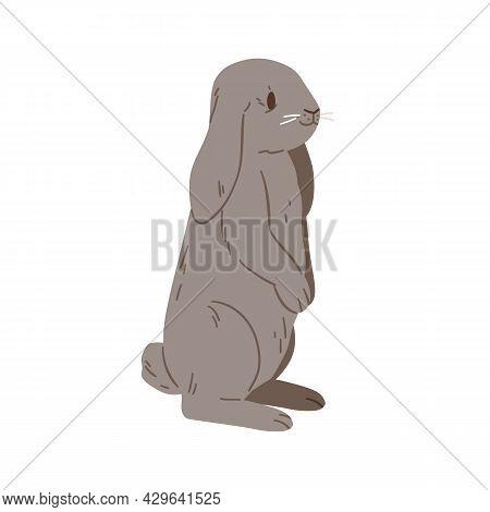 Holland Whisper Lop Rabbit. Cute Mini Bunny Standing. Little Domestic Animal. Adorable Coney Pet. Fl