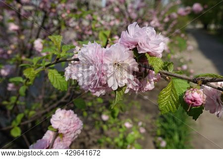 Branch Of Prunus Triloba With Double Pink Flowers In Mid April