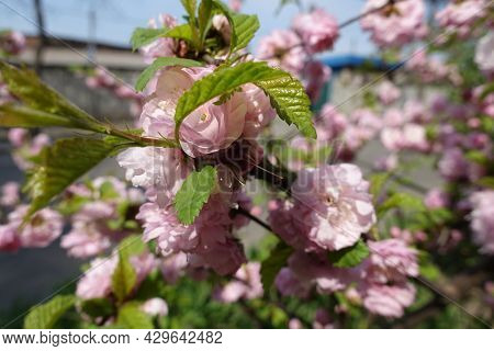 Thin Branch Of Prunus Triloba With Pink Flowers And Fresh Leaves In Mid April