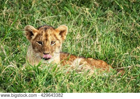 Cute lion cub, panthera leo, with his tongue out, rest is the cool grass of the Masai Mara, Kenya.