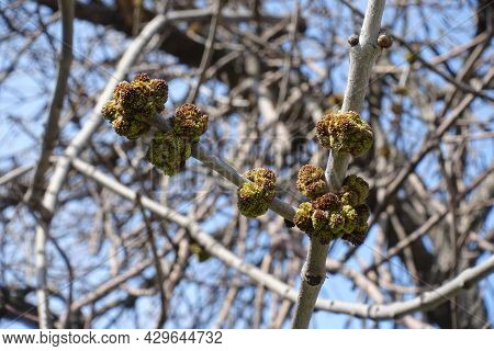 Closeup Of Flower Buds Of Acer Negundo Against Blue Sky In Mid March