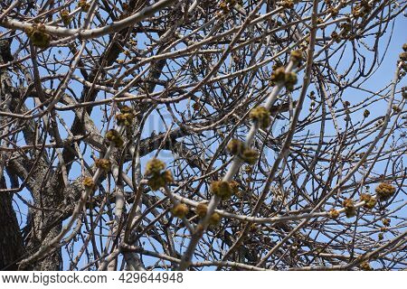 Sky And Branches Of Acer Negundo With Flower Buds In March