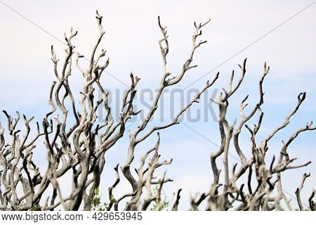 Parched Branches On A Burnt Chaparral Plant Caused From A Wildfire Taken At A Decimated Burn Area In